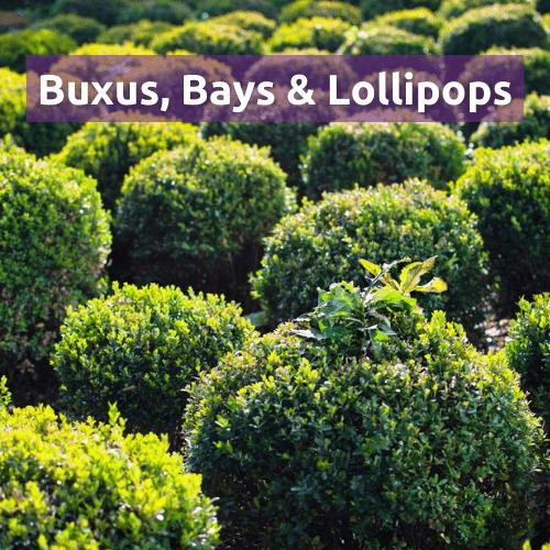Buxus, Bays & Lollipops